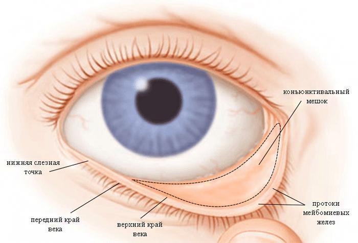 Строение конъюнктивы глаза