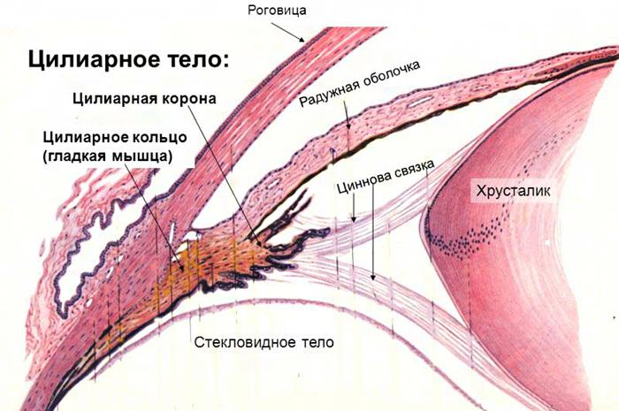 Анатомия цилиарного тела