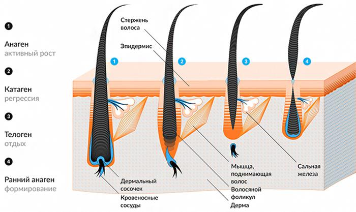 Строение ресничных волосков
