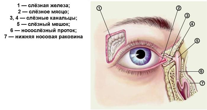 Строение слёзовыводящих органов