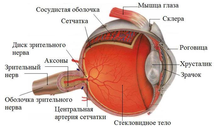 Диск зрительного нерва