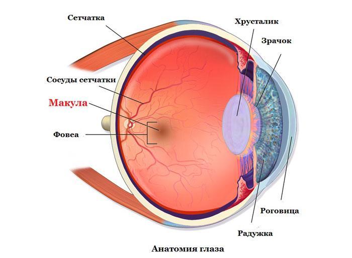 Где находится макула? анатомия глаза
