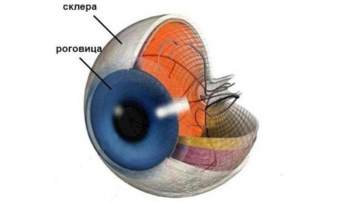 Особенности строения склеры глаза